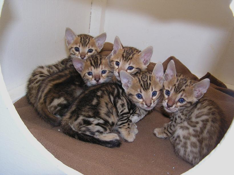 Enchantedtails Bengal Cats Gingersnap S Available Purebred Registered Bengal Kittens For Sale