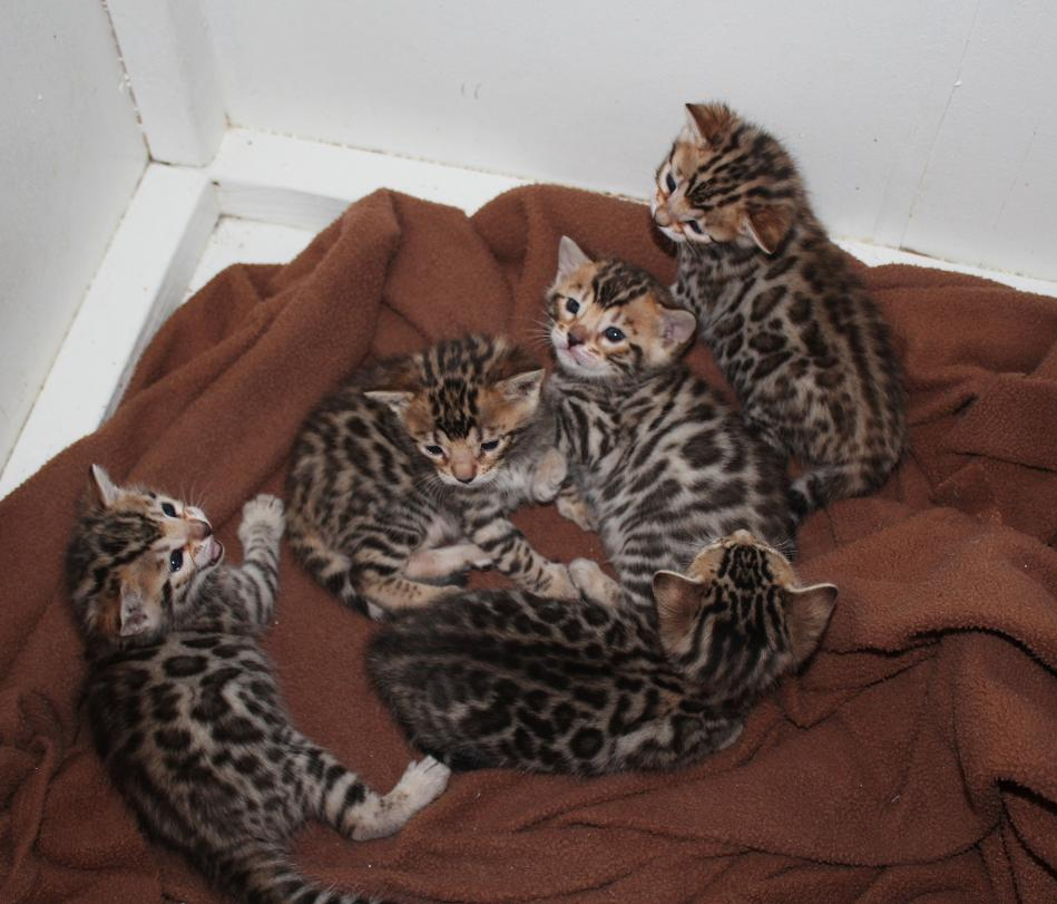EnchantedTails Bengal Cats Fairy Kisses' Available Purebred