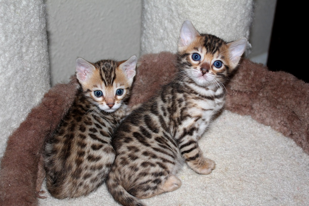 Enchantedtails Available Purebred Registered Bengal Kittens And Cats For Sale From Columbia