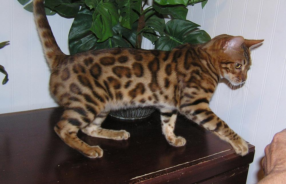 Free bengal kittens vancouver