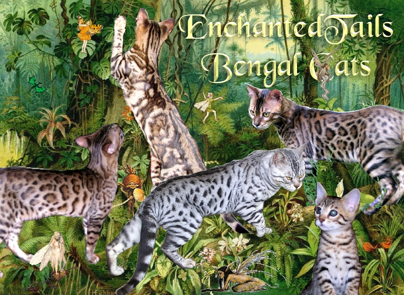 EnchantedTails Bengal Cats and Kittens ~ Breeder of Exquisite