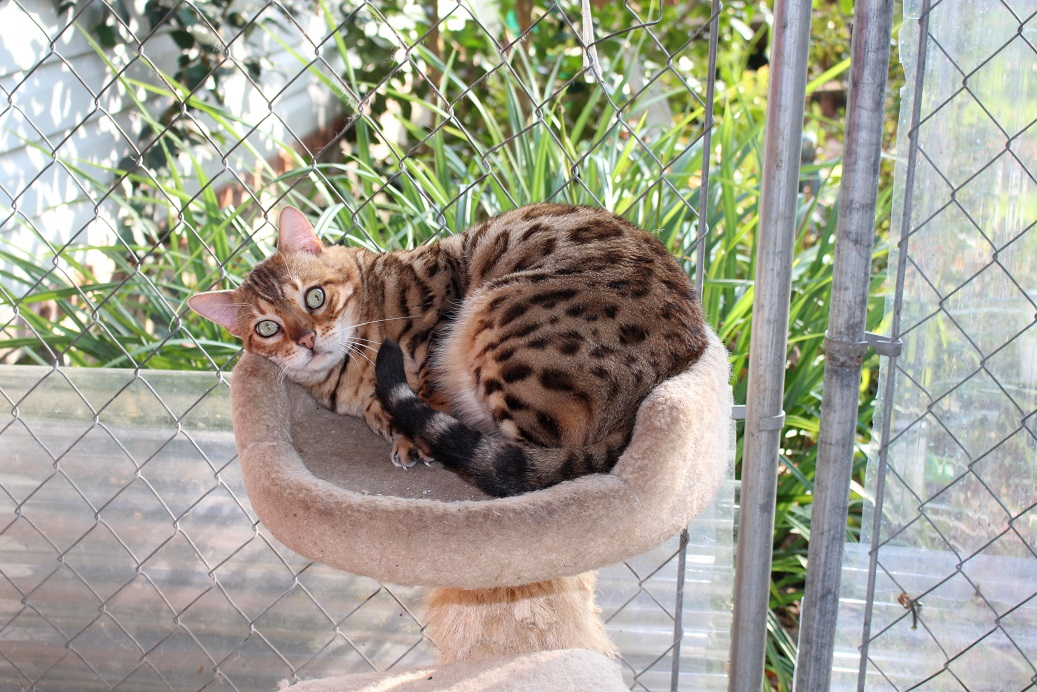 EnchantedTails - Available Retired Purebred Bengal Adult