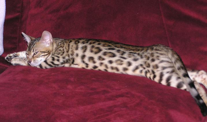 EnchantedTails Bengal Cats - Our Breeder Queens, Purebred
